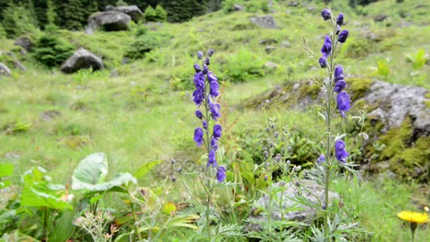 depositphotos_164361698-stock-video-aconitum-napellus-flower-known-as